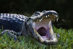 Alligators dans les Everglades