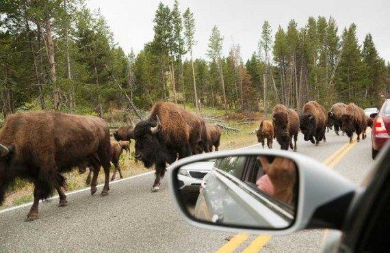 1-observation-faune-bison-grand-teton.jpg