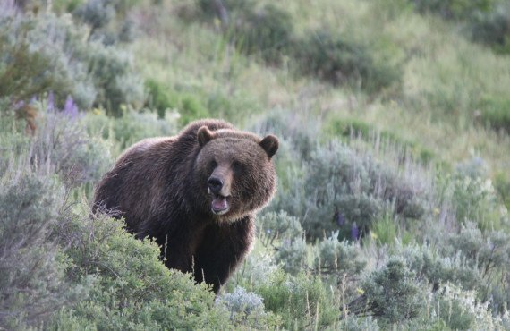 2-grizzly-bear-lamar-valley-wildife-tour.jpg