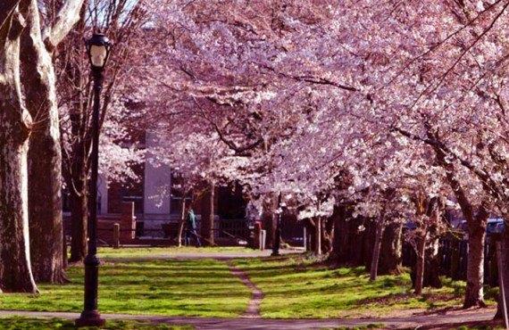 New-Haven - Les cerisiers en fleurs