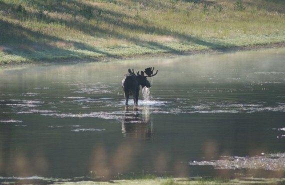 Orignal à Yellowstone
