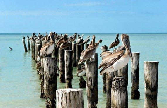 Pélicans près du quai