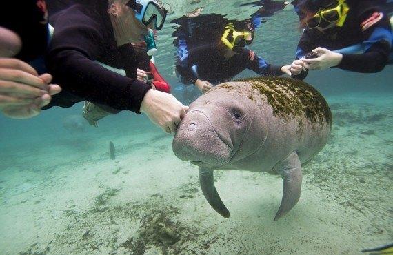Nager avec les Lamantins, Crystal River, FL