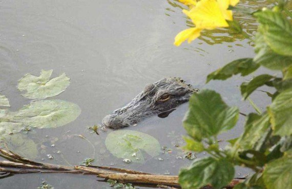5-Trail-Lakes-Campground-Alligator.jpg