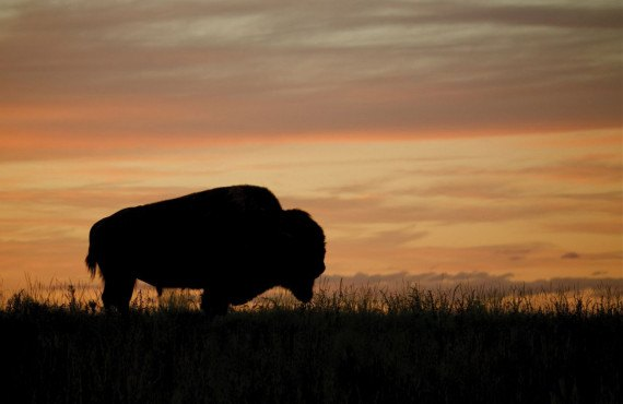 Bison au coucher du soleil