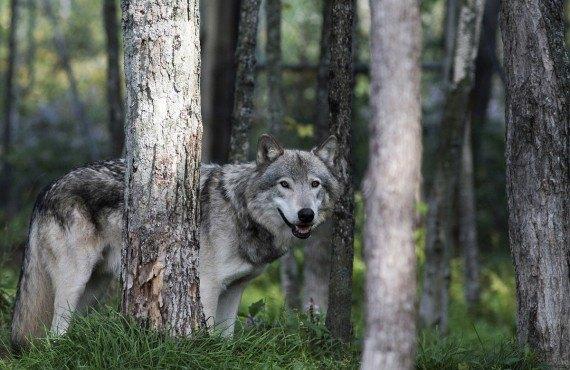 5-parc-omega-loup-gris