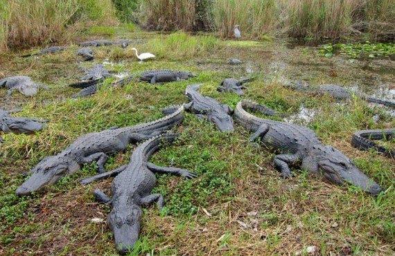 Observation-Alligator-Everglades