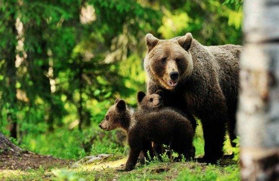 Parc animalier Oméga, Montebello, QC - L'ours noir