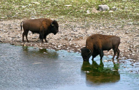 Bisons dans le parc National des Lacs Waterton