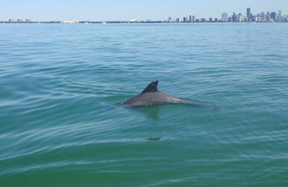 7-dolphin-in-biscayne-bay.jpg