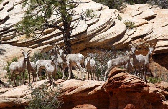 Driftwood Lodge - Mouflons Zion