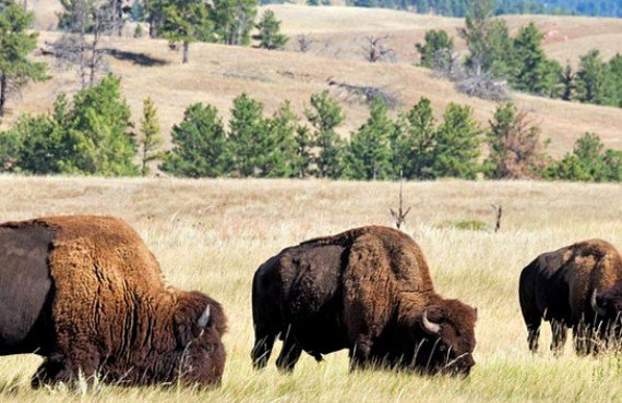 Buffalo Valley, Bisons