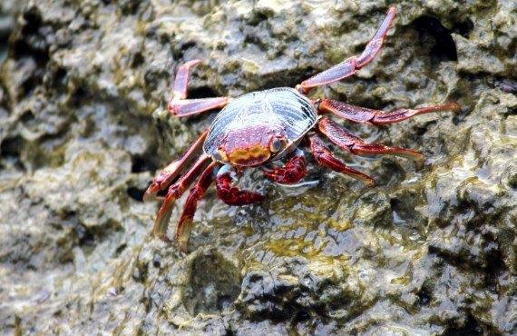 Crabe de Key West