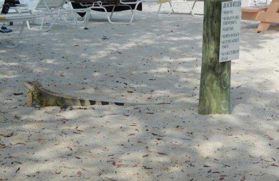 Camping-KOA-Key-West-Iguane