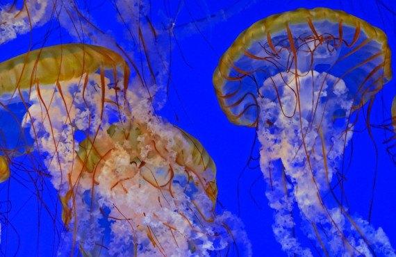 Méduses à l'aquarium de Los Angeles