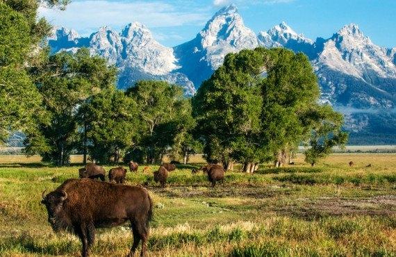 Bisons dans le parc national de Grand Teton