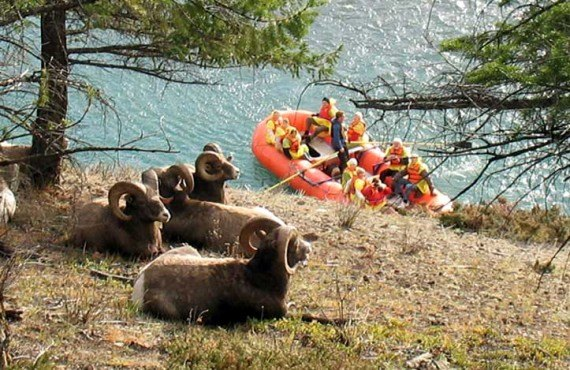 Mouflons et Rafting sur l'Athabasca
