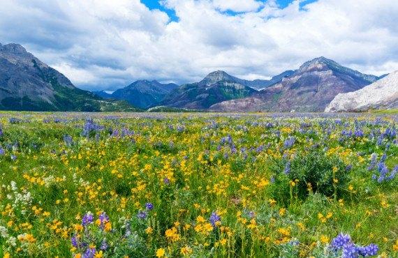 Fleurs sauvages dans le parc national de Waterton