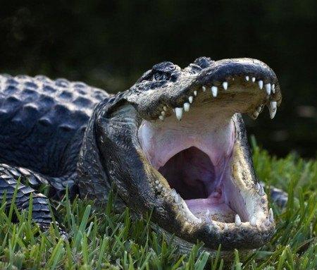 Aligator des Everglades