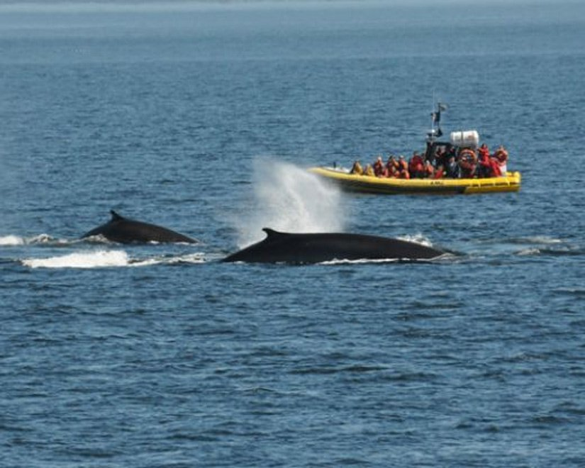 Safari aux baleines en zodiac - Tadoussac, Qc