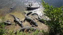 Observation des alligators - Everglades