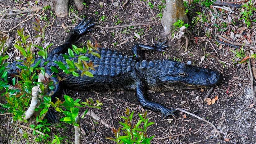 Alligator-Everglades