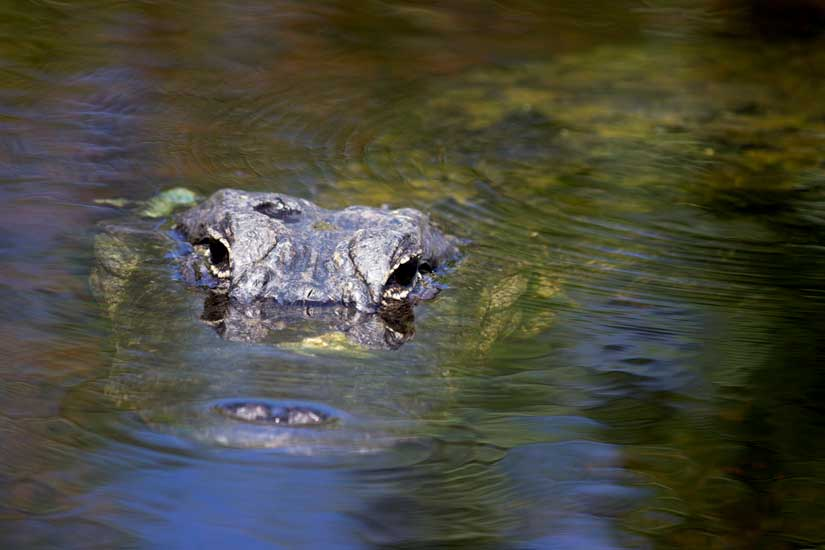 Observation-Alligator-Everglades