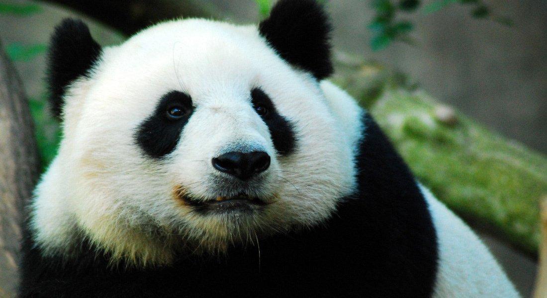 Panda du zoo de San Diego