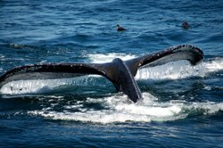 Obervation des baleines, Boston