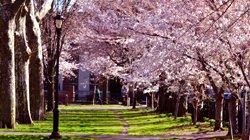 New Haven - Cerisiers en fleurs