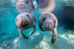 Observation des lamantins de Crystal River, Floride