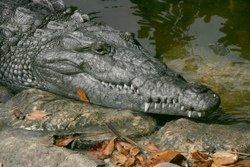 Crocrodile américain, Everglade