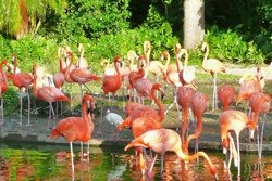 Les flamants roses au Zoo de Miami