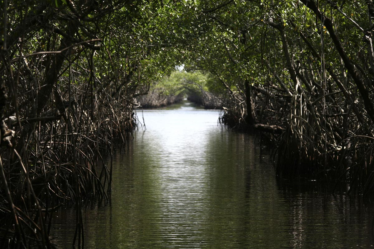 Mangroves des Everglades