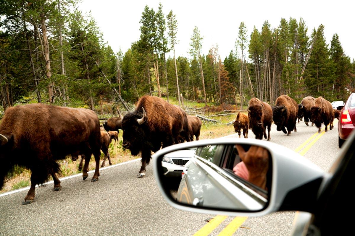 Bisons sur la route de Hayden Valley