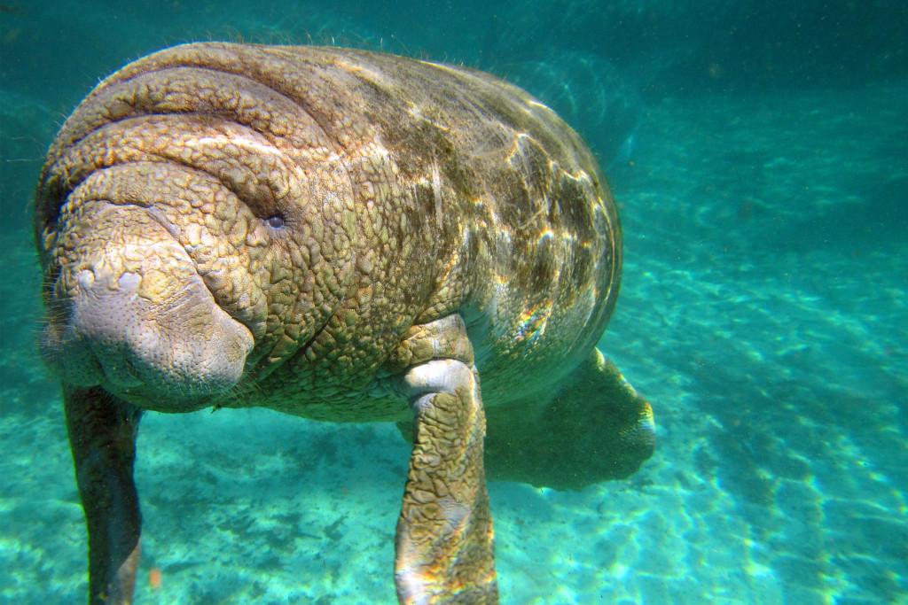 Observation de la faune en Floride du Sud-Ouest - Lamantins