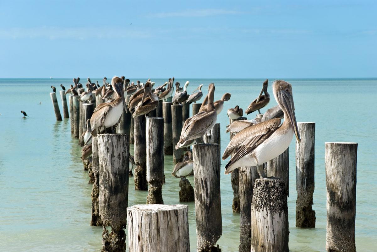Pélicans bruns